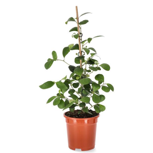 Pilleriviikuna, Korkeus 40 cm, Vihreä