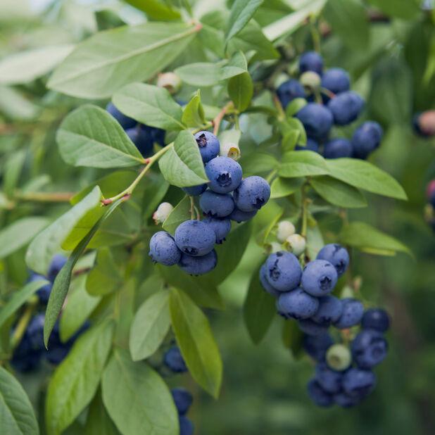Tarhapensasmustikka 'Berry Bux', Ø10.5 cm, Vihreä
