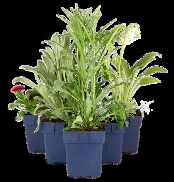 Tarhasalkoruusu, Korkeus 15 cm, Valkoinen
