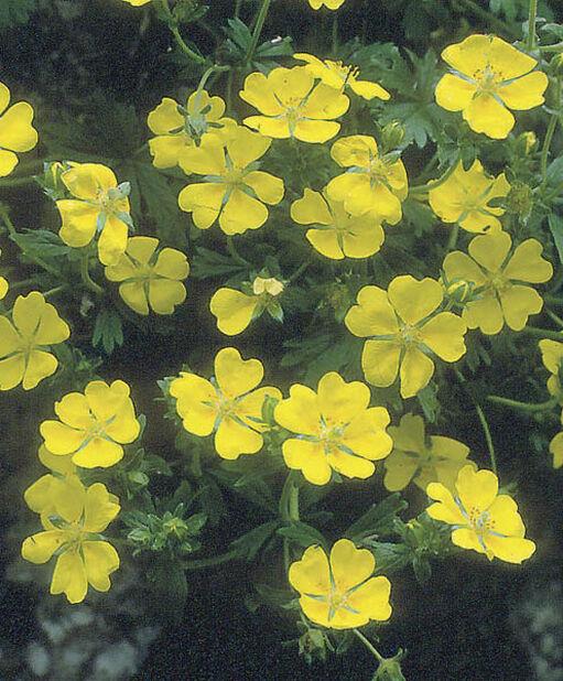 Kultahanhikki , Ø11 cm, Keltainen