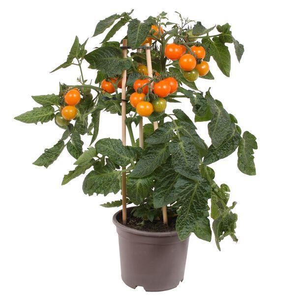 Kirsikkatomaatti, Ø14 cm, Oranssi