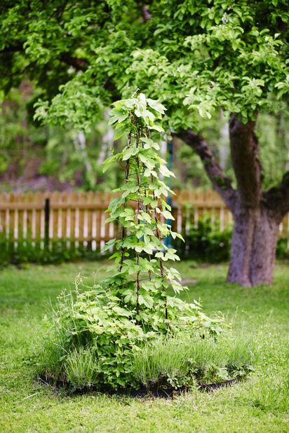 Humala 'Nordbrau', Korkeus 70 cm, Vihreä