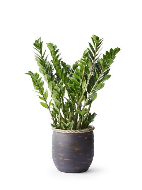 Palmuvehka, Korkeus 65 cm, Vihreä