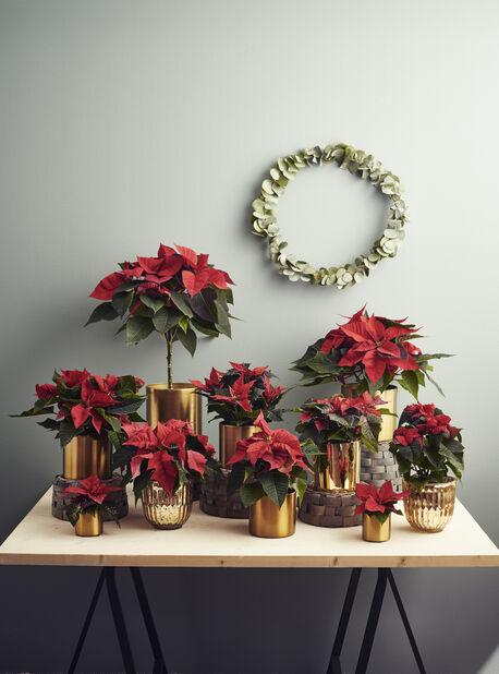 Joulutähti mini, Korkeus 8 cm, Punainen
