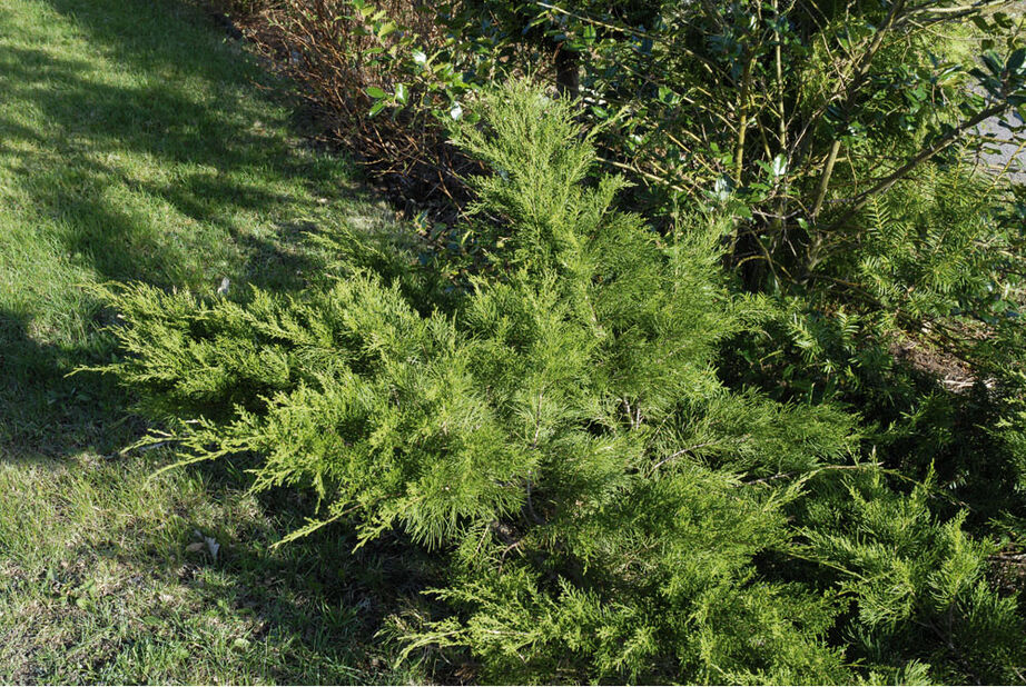 Tarhakataja 'Mint Julep', Korkeus 30 cm, Vihreä