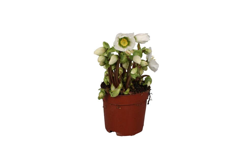 Jouluruusu 12 cm 'Verboom Beauty'