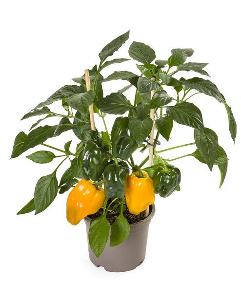 Keltainen paprika, Ø14 cm, Keltainen