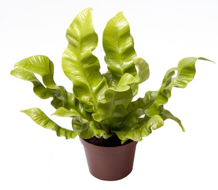 Minikokoinen pesäraunioinen, Korkeus 10 cm, Vihreä