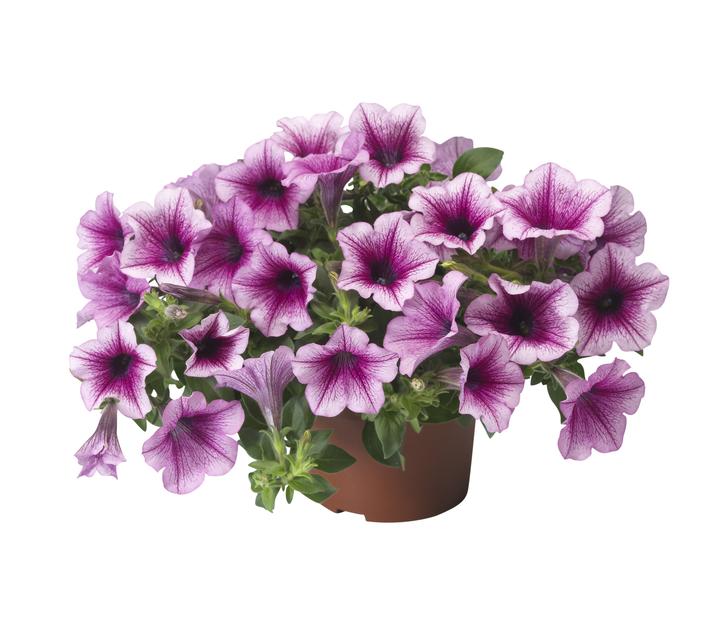 Petunia h. 'Strawberry Vein' 12 cm