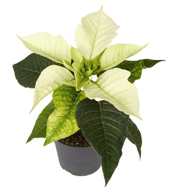 Euphorbia pulch. 1-br. White 12cm