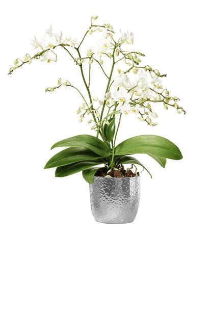 Perhosorkidea 12 cm Wild white