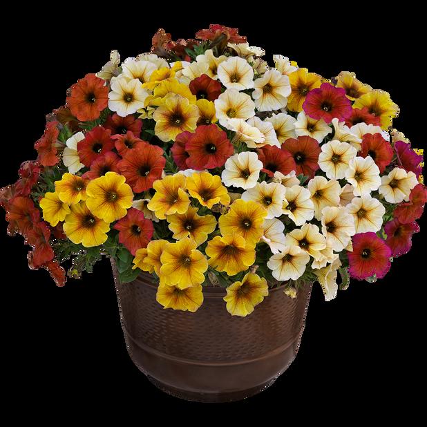 Petunia 'Beauty Cal', Ø19 cm, Monivärinen
