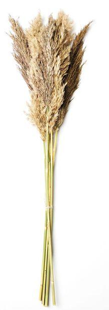 Pampaheinä , Korkeus 50 cm, Valkoinen