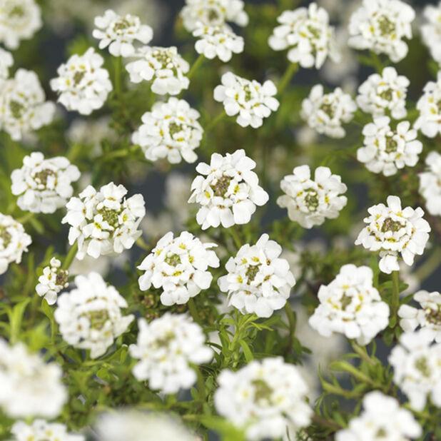 Talvisaippo 'Snowflake', Korkeus 20 cm, Valkoinen