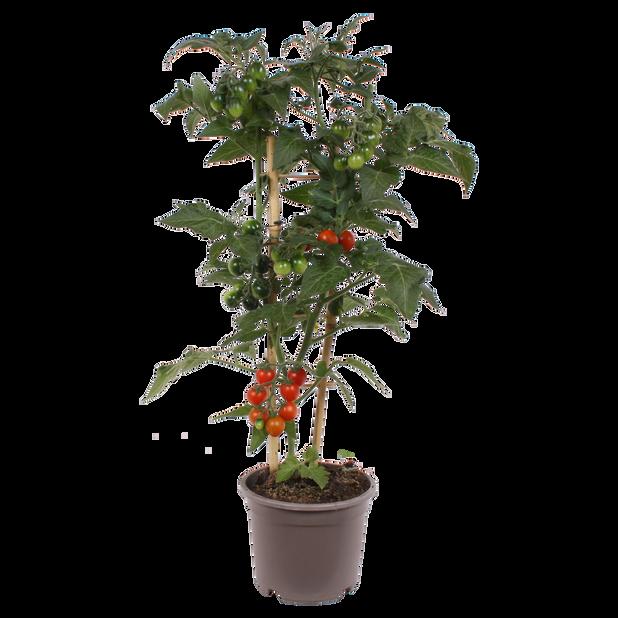 Tomaatti, Ø14 cm, Punainen