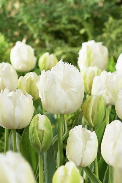 Tulppaani 'White Parrot', Useita värejä