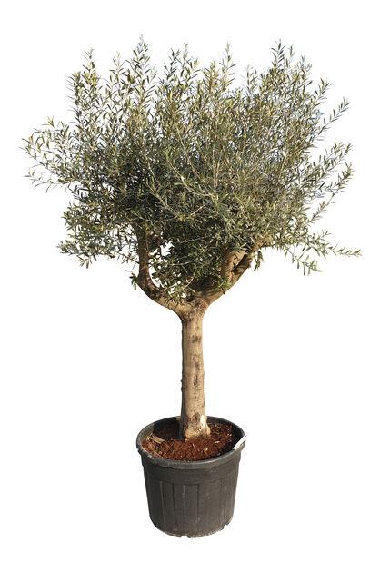Oliivipuu, Korkeus 300 cm, Harmaa