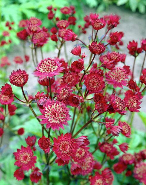 Isotähtiputki , Korkeus 15 cm, Punainen