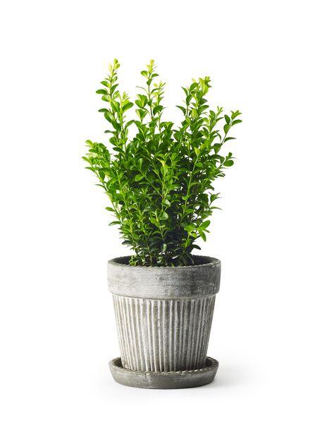 Puksipuupensas, Ø13 cm, Vihreä