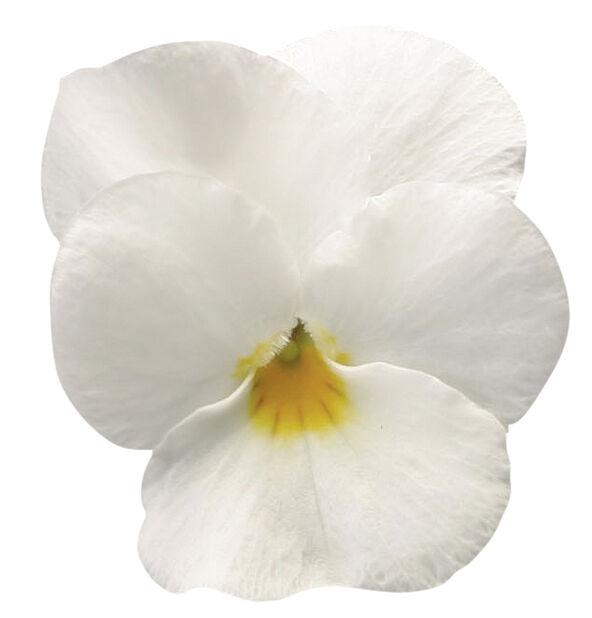 Viola small fl. White fl. 6-pack