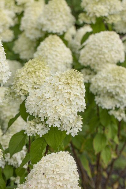 Syyshortensia 'Limelight', Ø29 cm, Valkoinen