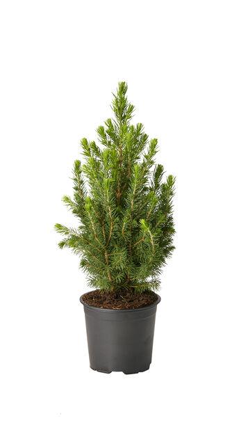 Picea glauca 'Conica' 13 cm