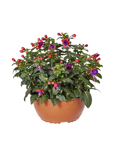 Fuchsia bowl 23 cm