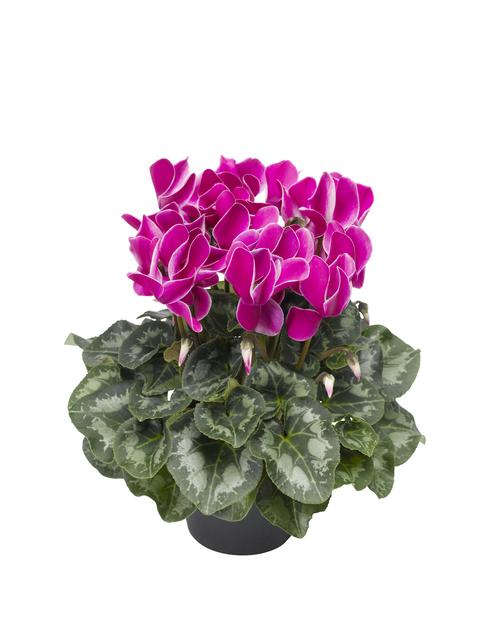 Syklaami, Ø12 cm, Violetti