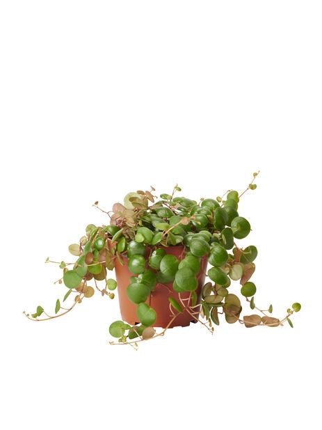 Muorinkukka 'Pepperspot', Korkeus 25 cm, Vihreä