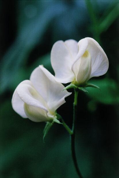 Ruusunätkelmä , Korkeus 15 cm, Valkoinen