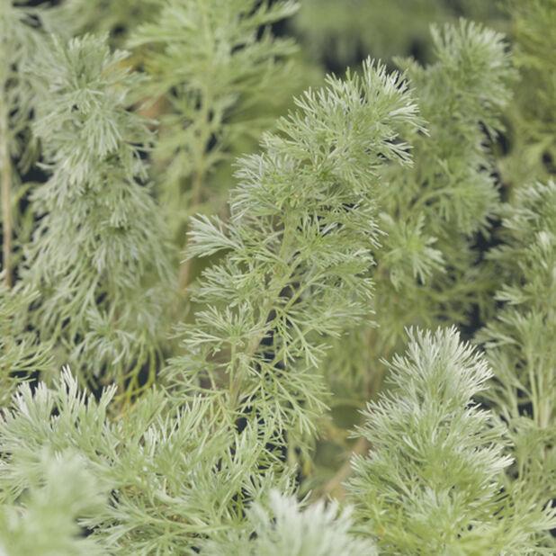 Artemisia schmidtiana 'Nana', Korkeus 60 cm, Keltainen