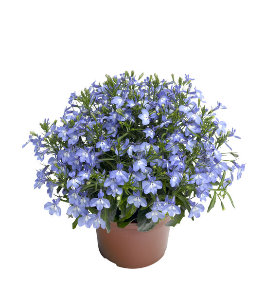Lobelia Techno-Up 12 cm taivaan sin.