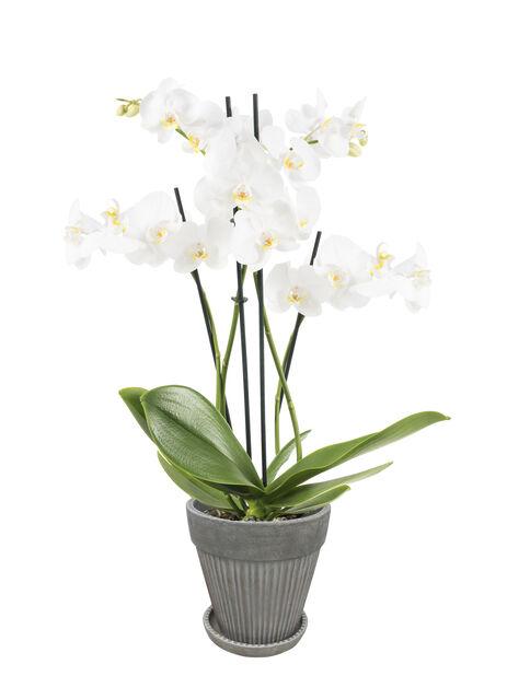 Perhosorkidea 'Duetto', Korkeus 60 cm, Valkoinen
