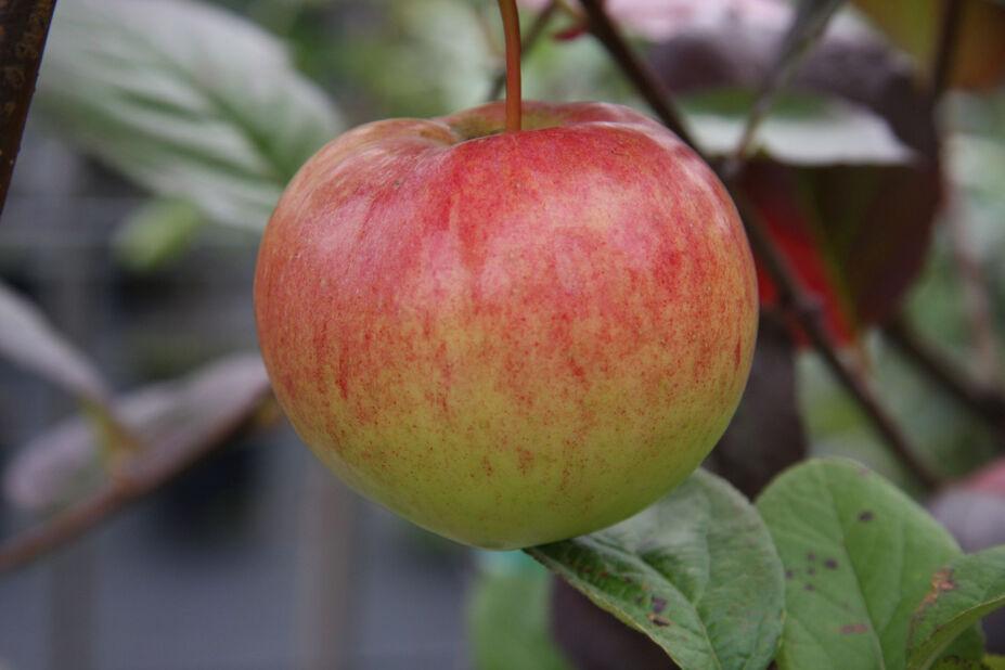 Syysomena kääpiöivä 'Keltakaneli', Korkeus 180 cm, Punainen