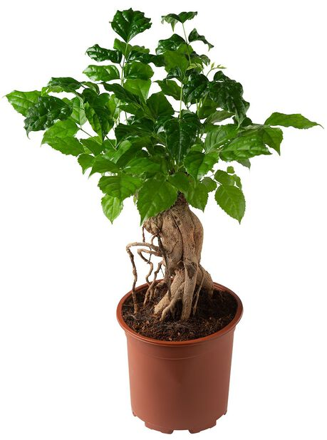 Hellepuu, Korkeus 40 cm, Vihreä