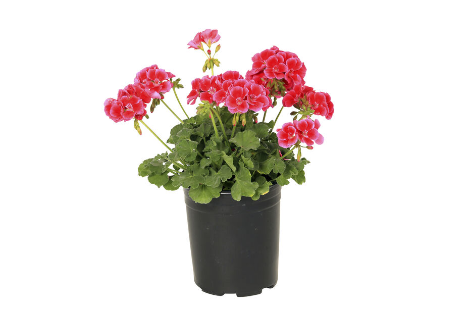 Calliope-pelargoni 'Red Splash', Ø12 cm, Punainen