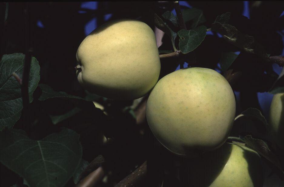 Kesäomena 'Valkeakuulas', Korkeus 180 cm, Keltainen