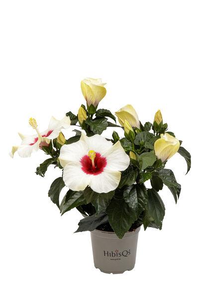 Kiinanruusu, Korkeus 25 cm, Valkoinen