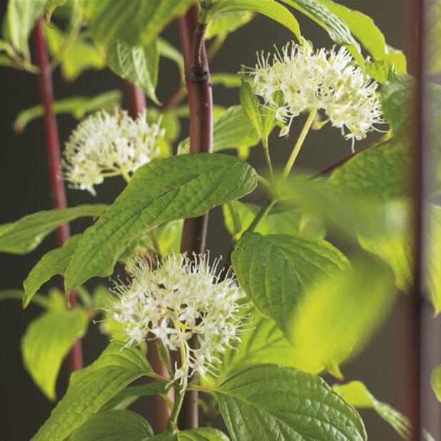Pensaskanukka 'Sibirica', Korkeus 50 cm, Valkoinen