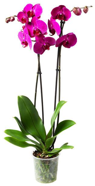 Perhosorkidea, Ø12 cm, Violetti