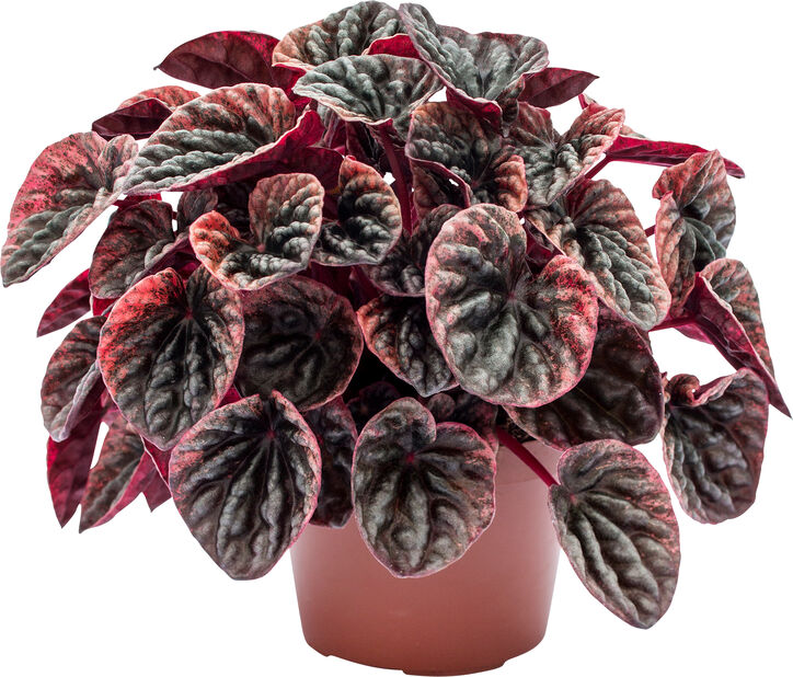 Uurremuori 'Abricos', Korkeus 20 cm, Punainen