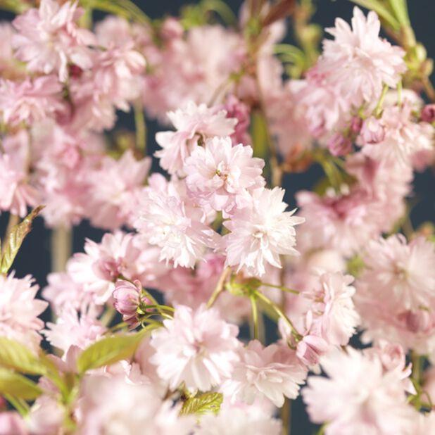 Prunus serrulata 'Kiku-shidare-zakura' stem 125 cm