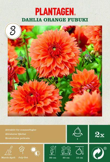 Tarhadaalia 'Orange Fubuki', Oranssi