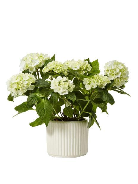 Hydrangea macrophylla white 12cm