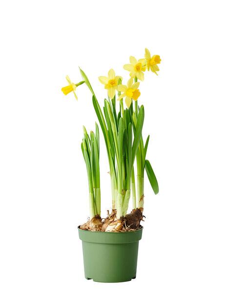 Kevätnarsissi 'Tete a Tete', Ø9 cm, Keltainen