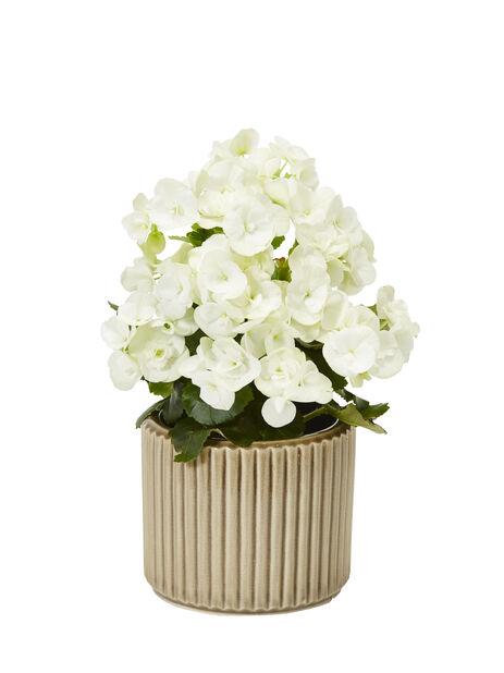 Begonia 12 cm valkoinen