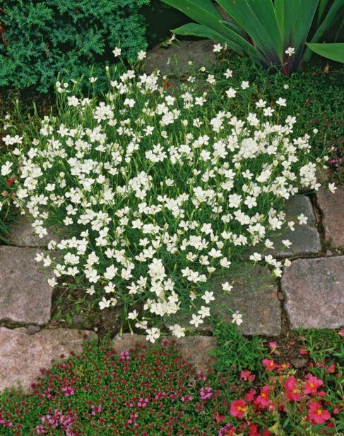Ketoneilikka , Korkeus 15 cm, Valkoinen
