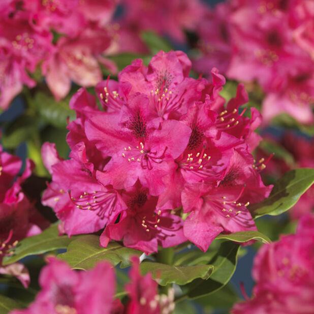 Puistoalppiruusu 'Nova Zembla' , Ø17 cm, Punainen