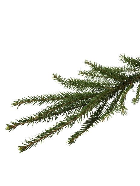 Metsäkuusi, Korkeus 200-250 cm, Vihreä