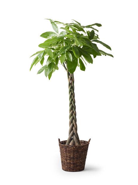 Kastanjasutipuu 33 cm